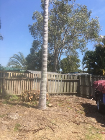 Cane palm stumped
